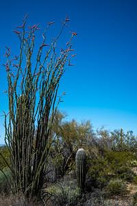 Tall ocotillos sheltering saguaros