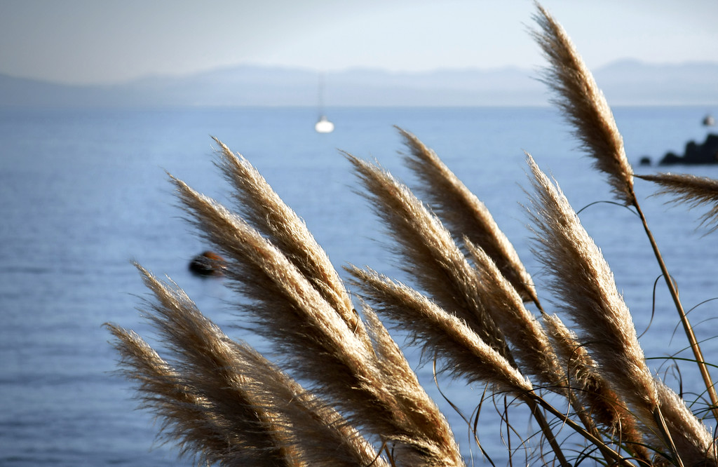Reed Plants at the Walton Lighthouse in Santa Cruz California - © Simpson Brothers Photography