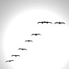 pellicans flying in formation - © Simpson Brothers Photography