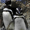 Penguins at the San Francisco Zoo - © Simpson Brothers Photography