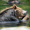 Brown Bear enjoying a treat in the water at the San Francisco Zoo - © Simpson Brothers Photography