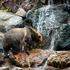Brown Bear crossing a waterfall at the San Francisco Zoo - © Simpson Brothers Photography
