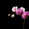 Orchid - © Simpson Brothers Photography