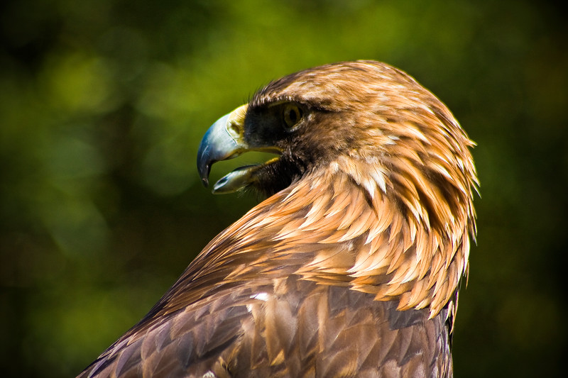 Golden Eagle at the San Francisco Zoo - © Simpson Brothers Photography