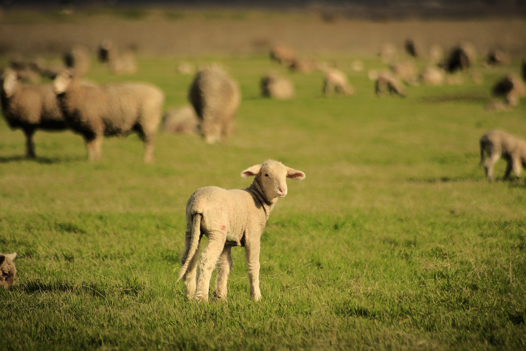 Lamb grazing in a field Tracy California - © Simpson Brothers Photography