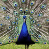 Peacock at the San Francisco Zoo - © Simpson Brothers Photography