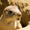 Prarie Dog at the San Francisco Zoo - © Simpson Brothers Photography