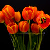 Tulip - © Simpson Brothers Photography