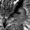 Owl at the San Francisco Zoo - © Simpson Brothers Photography