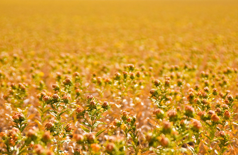 Sunflowers in Tracy - © Simpson Brothers Photography
