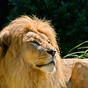Lion at the San Francisco Zoo - © Simpson Brothers Photography