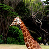 Giraffe crossing a meadow at the San Francisco Zoo - © Simpson Brothers Photography