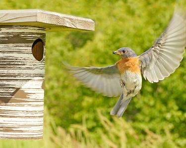 Male Bluebird 005