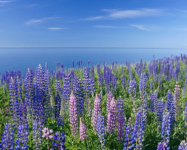 Lupines 003
