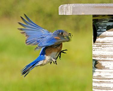 Male Bluebird 004