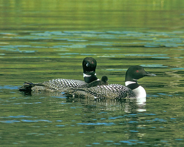 Loon Baby 001