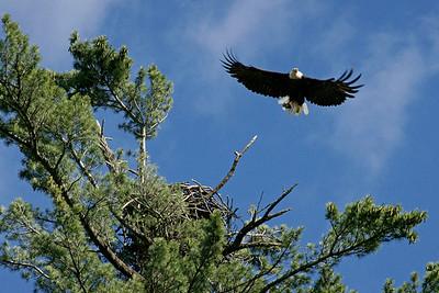 Bald Eagle Bringing good to Nest