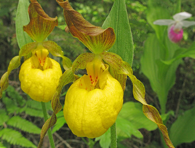 Yellow Lady's-Slippers 001