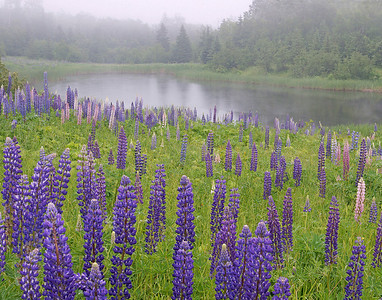 Lupines 002