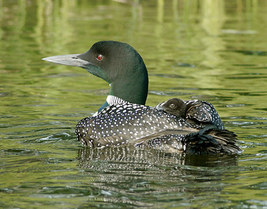 Loons 003