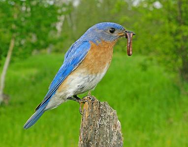Bluebird Male 002