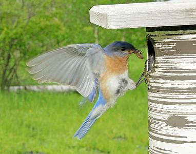 Bluebird Male 004