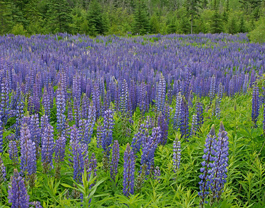 Lupines 001