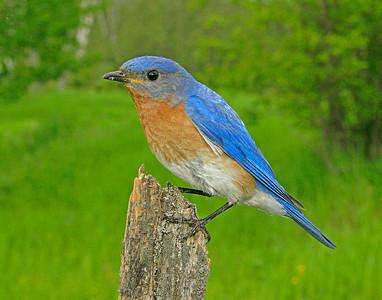 Bluebird Male 001