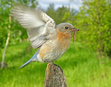 Bluebird Female 001