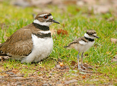 Killdeer Chick 1