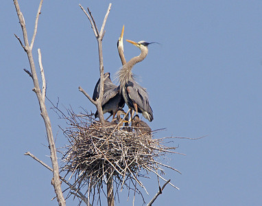 Great Blue Heron Rookery 4