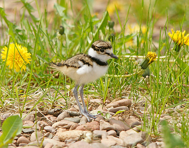 Killdeer Chick 3