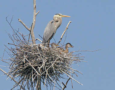 Great Blue Heron Rookery 2