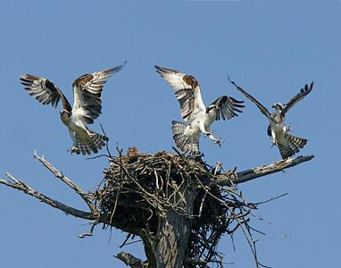 Osprey Nest 002