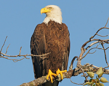 Bald Eagle 002