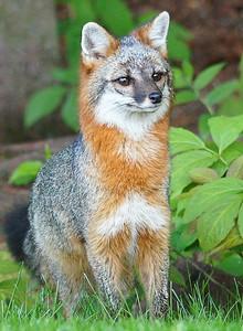 Gray Fox 002