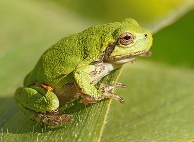 Grey Tree Frog 002