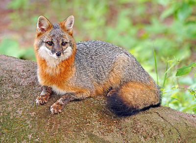 Gray Fox 001