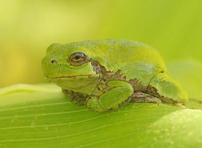 Grey Tree Frog 003