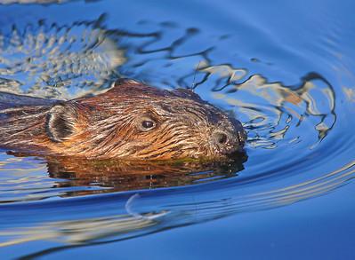 Beaver Family 001