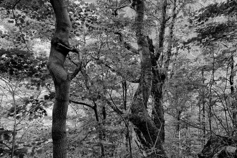 Ring tree - Jeffersonville, VT