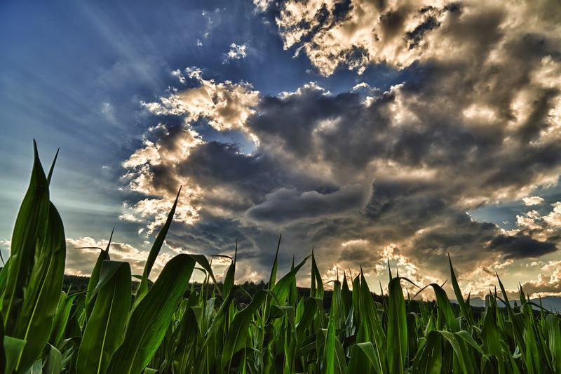 Corn - Stowe, VT