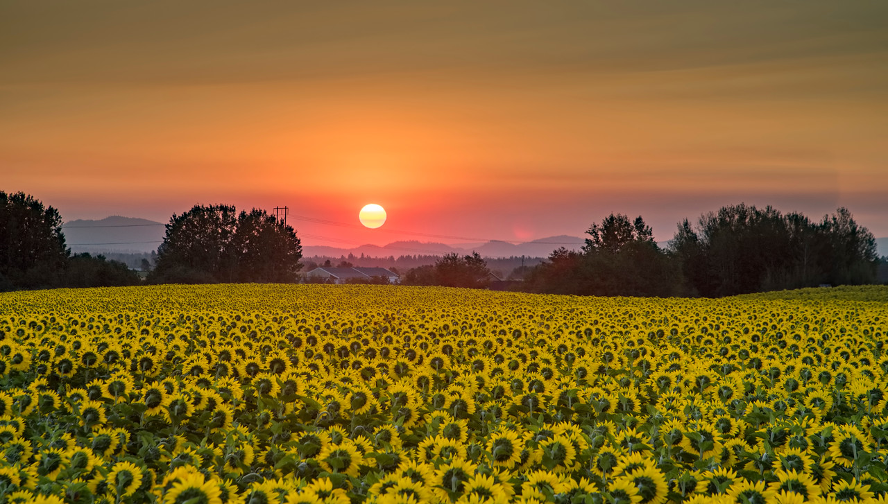 Sunflowers take a bow as the sun rises over Eastern Washington this morning.
