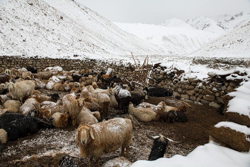 Winter Pastoralism