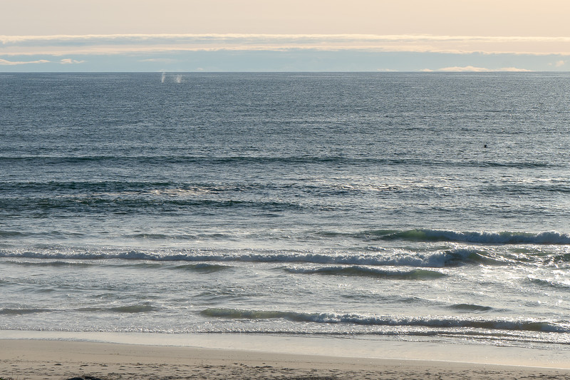 Spouts and fins from whales passing northward along Surf Beach