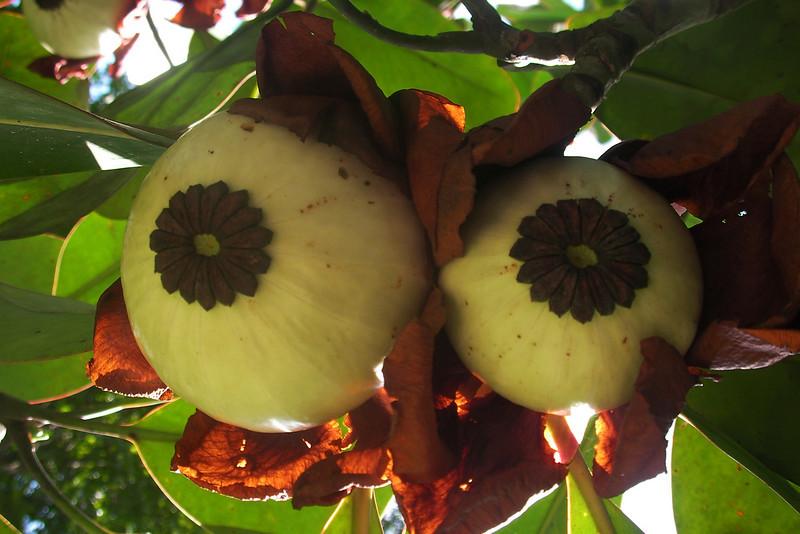 FRUITS OF THE ABRASA TREE. BROWNSBERG. BROKOPONDO DISTRICT. SURINAME.