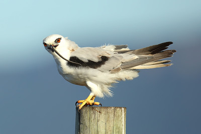 Black-Shouldered Kite (Elanus axillaris) with a skink for breakfast.