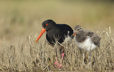Australian Pied Oystercatcher (Haematopus longirostris) adult female and chick