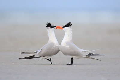 Royal Tern (Thalasseus maximus) courting display