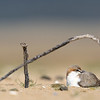 Red-Capped Plover (Charadrius ruficapillus) female nesting.